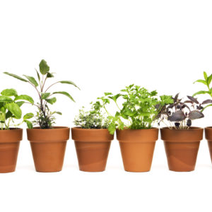 A potted plant selection of kitchen herbs in clay terra-cotta flower pots, isolated on a white background. Spices and greens may represent basil, sage, thyme, oregano, parsley, Thai basil, and mint. The spring seedling pots display the young leaves of fresh sprouts that contribute to flavorful, healthy eating.