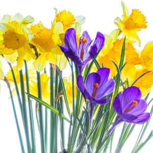 Spring bouquet of yellow daffodils and violet crocuses, isolated on a white background